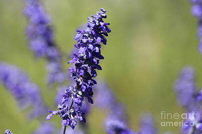 Photograph - Purple Spring by Sheila Ping