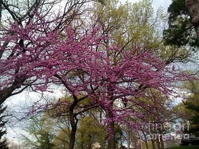 Photograph - Purple Spring Trees by Rachel Maynard