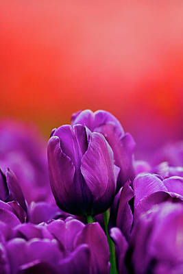 Photograph - Purple Standout by Craig Strand