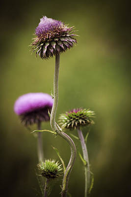 Photograph - Purple Star Thistle by Marilyn Hunt