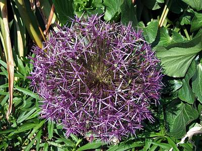 Photograph - Purple Stars by George Cousins