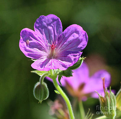 Photograph - Purple Sticky Geranium by Ann E Robson