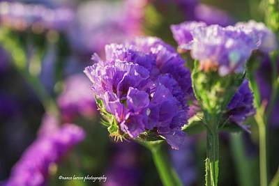 Photograph - Purple Straw Flower by Nance Larson