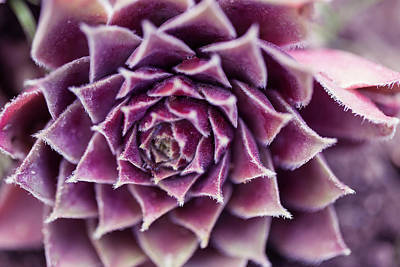 Photograph - Purple Succulent Plant Blossom In Summer by Jingjits Photography