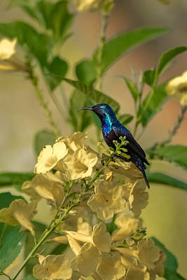 Photograph - Purple Sunbird by Ramabhadran Thirupattur