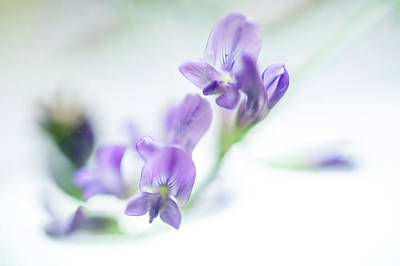 Photograph - Purple Sweet Pea Flower 2 by Jenny Rainbow
