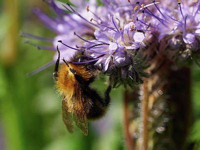 Photograph - Purple Tansy And A Bumblebee by Jouko Lehto