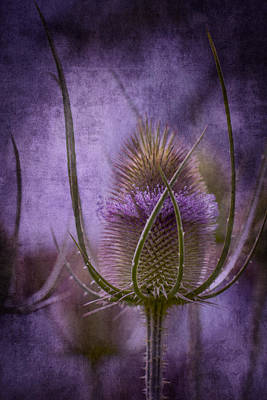 Photograph - Purple Teasel by Clare Bambers