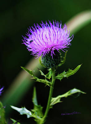 Photograph - Purple Thistle And Fly by Edward Peterson