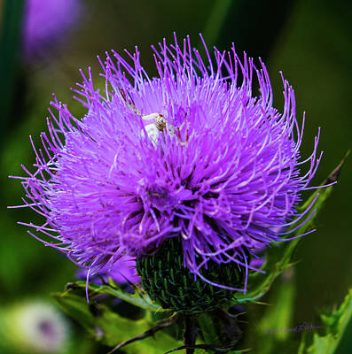 Photograph - Purple Thistle And Spider by Edward Peterson