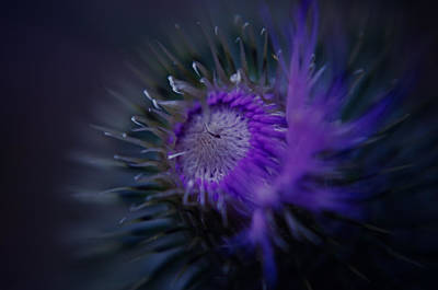 Photograph - Purple Thistle Flair by Adria Trail