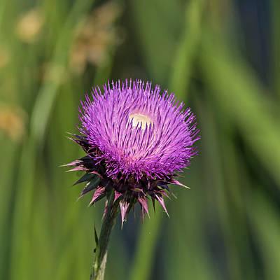 Photograph - Purple Thistle by Loree Johnson