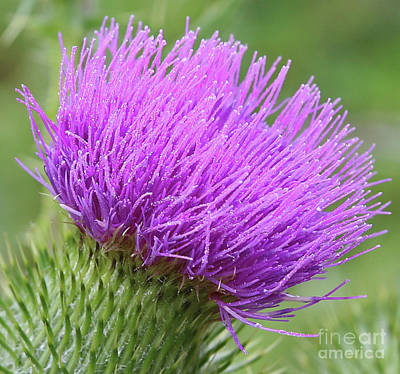 Photograph - Purple Thistle by Marty Fancy