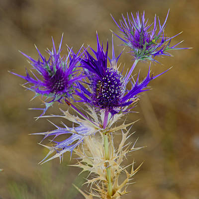 Photograph - Purple Thistle by Tikvah's Hope