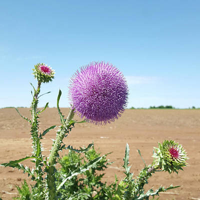 Photograph - Purple Thistle - Wayne, Ok by Amy Jo Garner