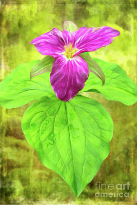 Painting - Purple Trillium Flower In The Blue Ridge Ap by Dan Carmichael