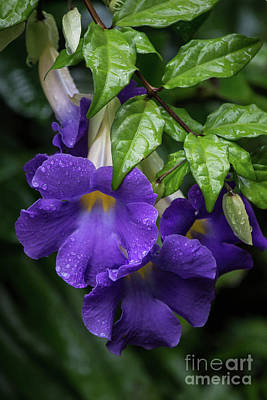 Photograph - Purple Trumpet Flowers by Teresa Wilson