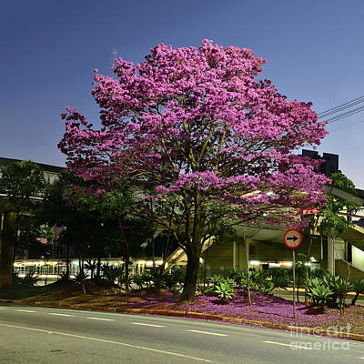 Photograph - Purple Trumpet Tree In Urban Environment by Carlos Alkmin