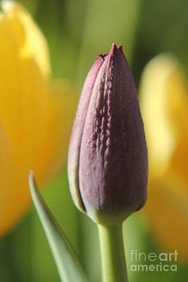Photograph - Purple Tulip Bud by Lori Mellen-Pagliaro