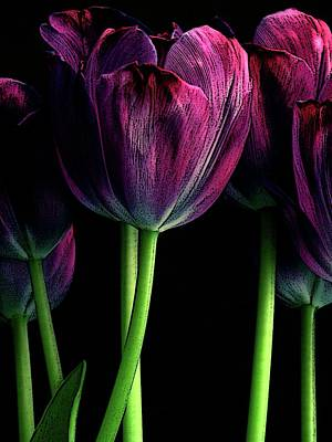Photograph - Purple Tulip by Craig Perry-Ollila