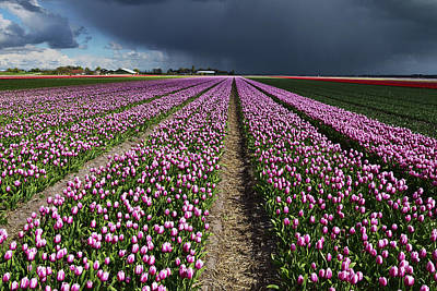 Photograph - Purple Tulips Field by Mihaela Pater