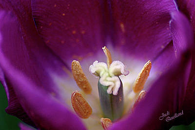 Photograph - Purple Tulip by Judi Quelland