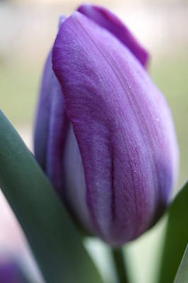 Photograph - Purple Tulip by Laurie Perry