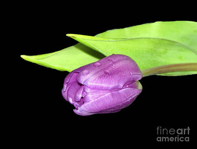 Photograph - Purple Tulip by Lynn Bolt