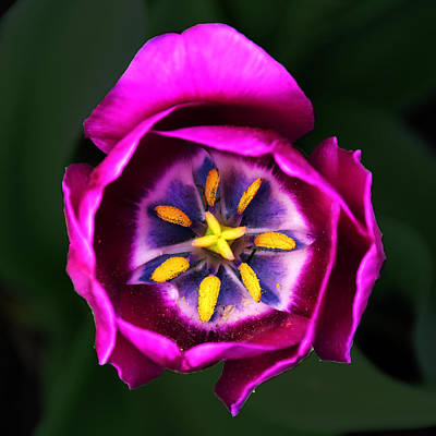 Photograph - Purple Tulip by Robert Clayton