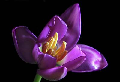 Purple Tulip. Original