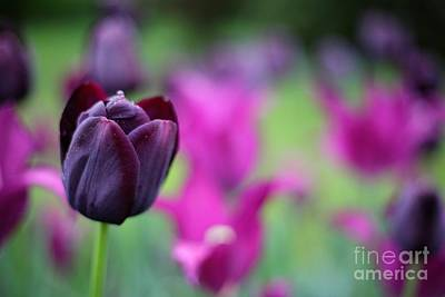 Photograph - Purple Tulip by Traci Law