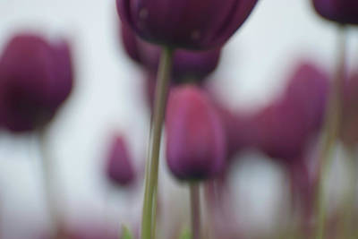 Photograph - Purple Tulips Abstract by Jani Freimann