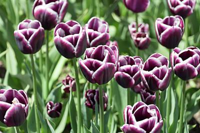 Photograph - Purple Tulips by Dawn Cavalieri