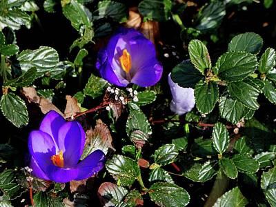 Photograph - Purple Tulips by Nik Watt