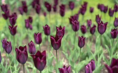 Photograph - Purple Tulips by Radoslav Nedelchev
