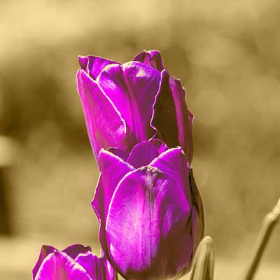 Purple Tulips Sepia Background Art Print