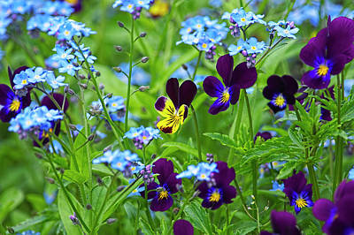 Photograph - Purple Violas And Forget-me-nots by Sharon Talson