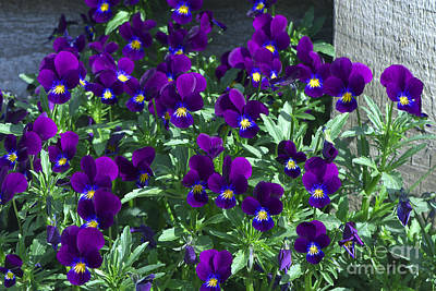 Photograph - Purple Violas By The Fence by Sharon Talson