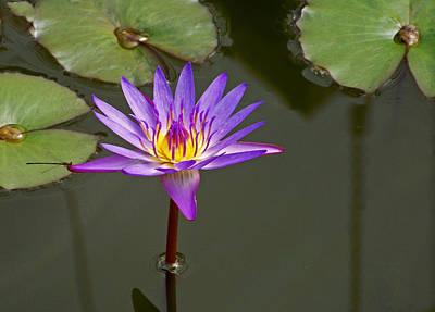 Photograph - Purple Water Lily by Judy Wanamaker