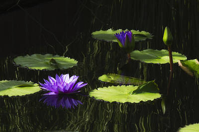 Purple Water Lily Art Print by Lindley Johnson