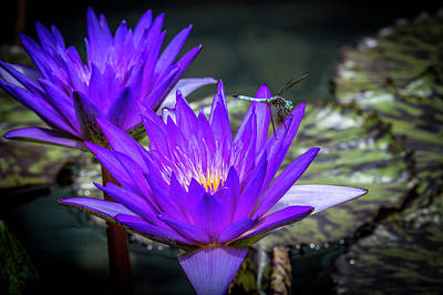 Photograph - Purple Water Lily by Paul Freidlund