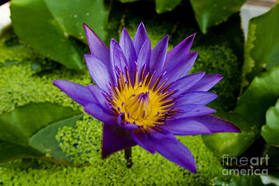 Purple Water Lily Art Print by Ray Laskowitz - Printscapes