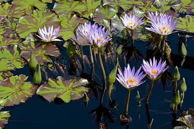 Photograph - Purple Waterlilies Cluster by Tana Reiff