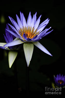 Rowing - Purple waterlily by Sheila Smart Fine Art Photography
