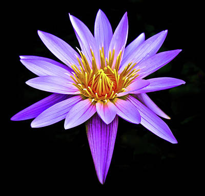 Purple Waterlily With Golden Heart Art Print