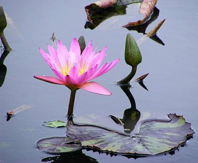 Purple Waterlily With Pod Art Print by Margie Avellino