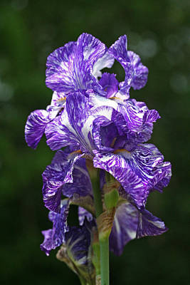 Photograph - Purple White Iris by Don Ziegler