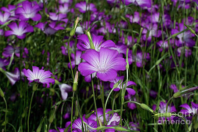 Photograph - Purple Wildflowers by Glenn Franco Simmons
