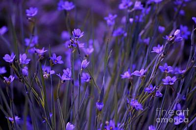 Purple Wildflowers In A Field Art Print
