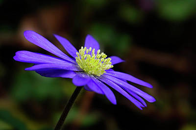 Photograph - Purple Windflower by Inge Riis McDonald